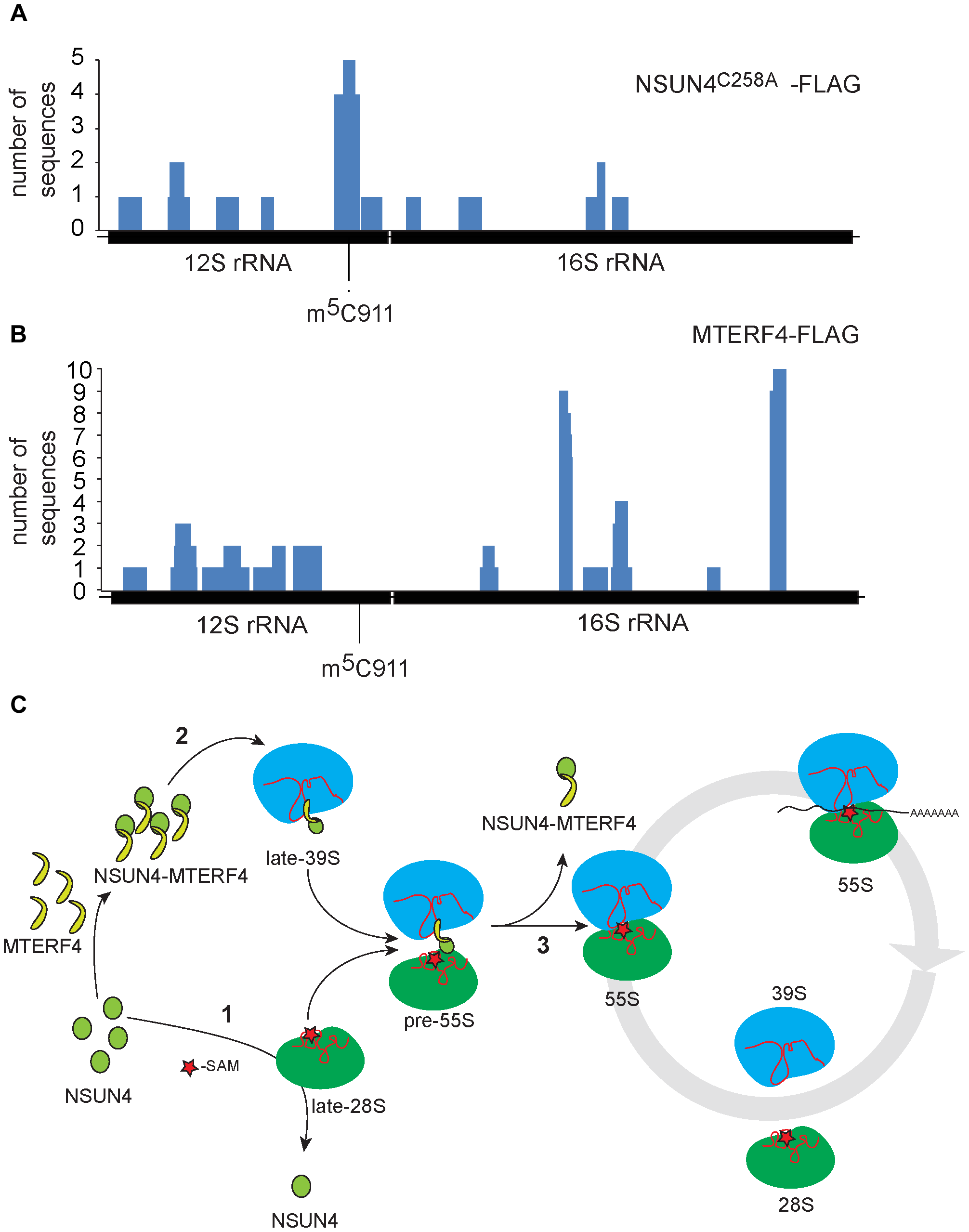 rRNA binding by NSUN4 and MTERF4 and model of the role of the NSUN4/MTERF4 complex in regulation of ribosome assembly.